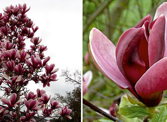 Buy Magnolia liliiflora