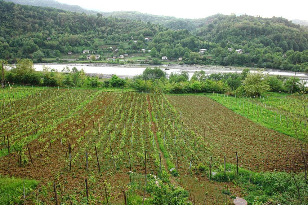 Buy Хванчкара - природно-полусладкое красное вино. Алкоголь . 12% , 750 мл., сахар 42 гр/дм3.