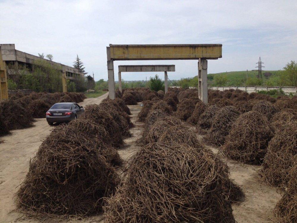 Buy Licorice Glycyrrhiza Glabra