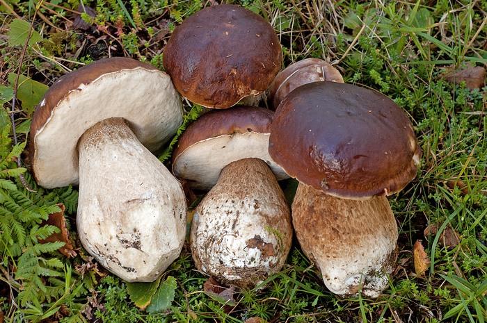 Buy Mushrooms