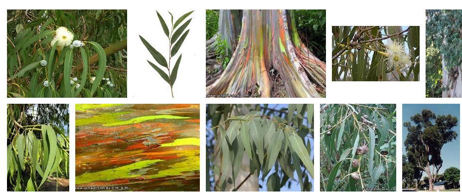 Buy Эвкалиптовые веники. Eucalyptus