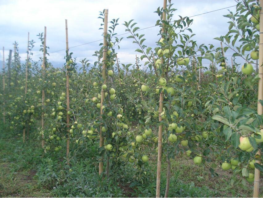 Georgian Green Apple
