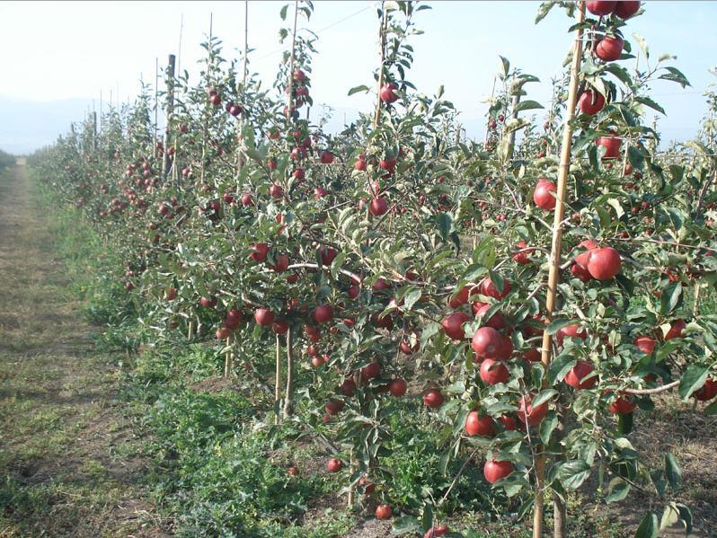 Georgian Red Apple
