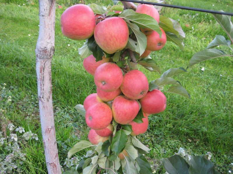 Georgian Apple