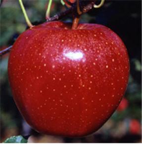 Apple gala Sniga