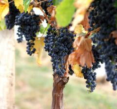 Вино красное Хванчкара. Semi Sweet Wine