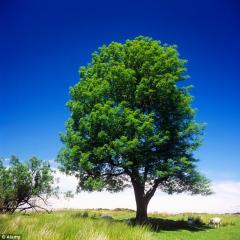 Ash tree plant