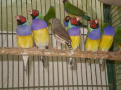 Gouldian Finches, Finches For sale, Zebra Finches
