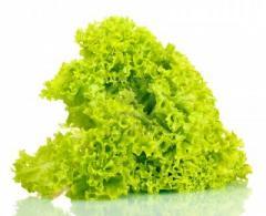 Lolla Bionda lettuce