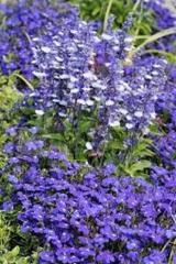 Salvia decorative