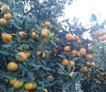 Лимон цитрус урожай свежий