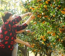 Свежие мандарины из Аджарии