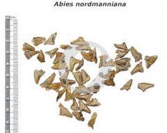 Abies Nordmanniana Seeds