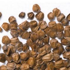 Alnus Incana Seeds