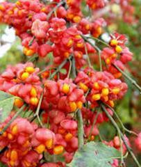 Euonymus Latifolia Seeds