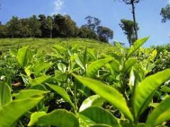 Lapsany Tea