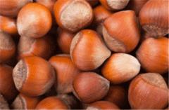 Фундук неочищенный (в скорлупе), Калибр: 16, 17, 18, 19, 20, 21+ , Hazelnuts in shell Caliber Can Be : 16, 17, 18, 19, 20, 21+