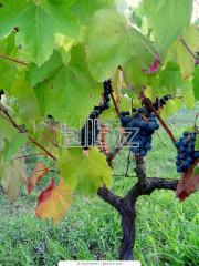 Table varieties of grapes