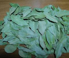 Hand Picked Laurel Leaves
