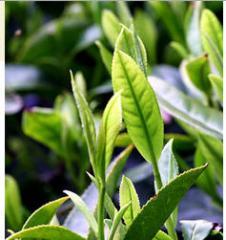 Зелёный грузинский чай. Green Tea