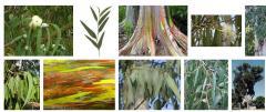 Эвкалиптовые веники. Eucalyptus