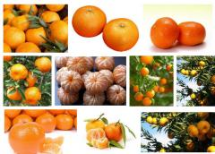 Грузинские мандарины.Mandarin Georgian
