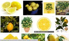 Лимон. Lemon