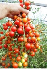 Georgian Tomatoes.Грузинские помидоры свежие