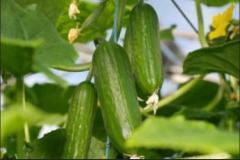 Georgian Cucumber . Огурцы свежие