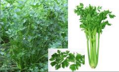 Georgian celery. Грузинский сельдерей