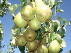 Georgian Pears