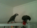 African Grey Parrots and Hatching parrot eggs for Sale